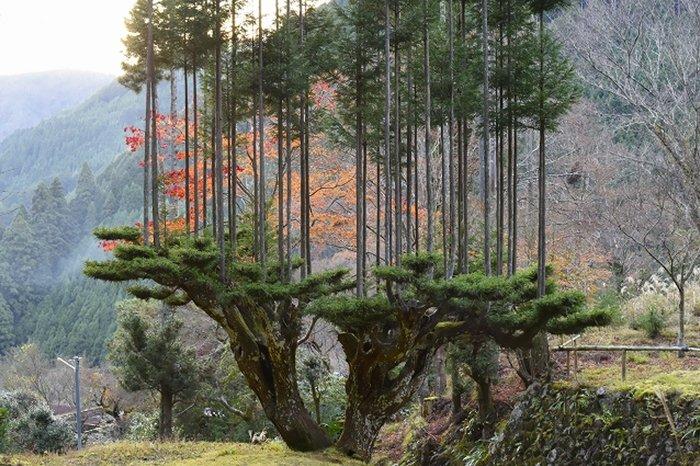 sustainable-japanese-forestry-daisugi-1