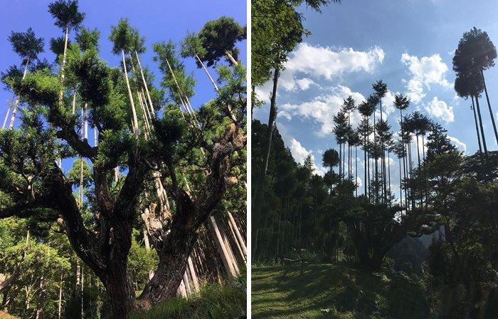 sustainable-japanese-forestry-daisugi-2