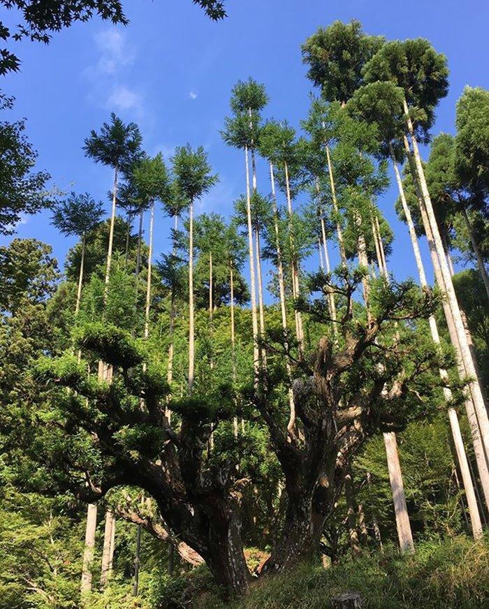 sustainable-japanese-forestry-daisugi-4