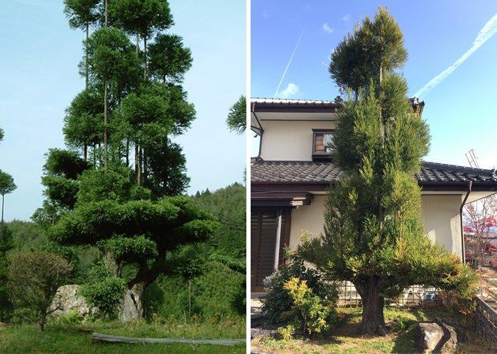 sustainable-japanese-forestry-daisugi-6